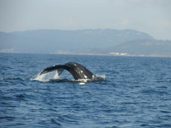 BC Whale Tours: Humpback
