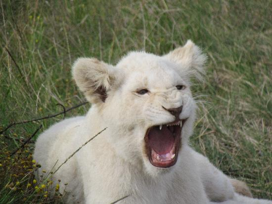 White Lion Cuns