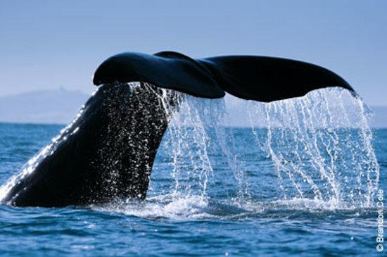 Ponta Delgada, Portugal: Sperm Whale