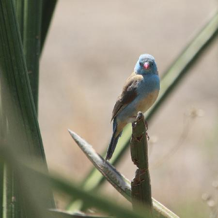 Ndutu Safari Lodge: A blue capped cordonbleu I spotted from my lunch table.