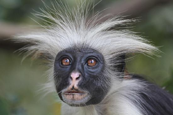 Pwani Mchangani, Tanzania: Be sure to arrange a side excursion to Jozani Chwaka Bay National Park to see the red Colobus mo