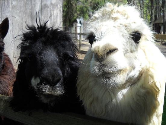 Rising Sun, แมรี่แลนด์: Two of the friendly alpacas.