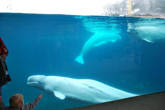There Are Now Three Belugas Picture Of Mystic Aquarium