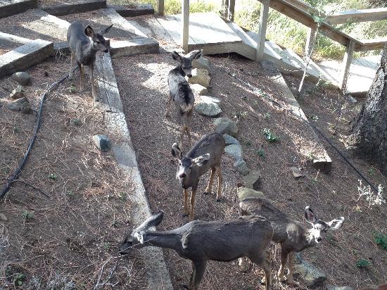 Ruidoso Lodge Cabins: Deer in yard