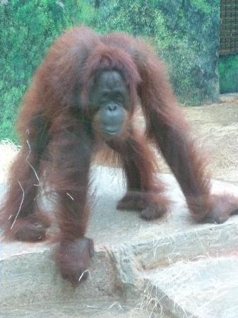 ZooParc de Beauval: orang outan