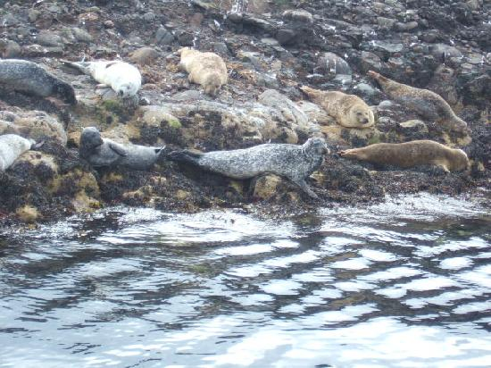 Argyll Charters - Mara Mhor Cruises: Seals basking on Sgeir Dhon
