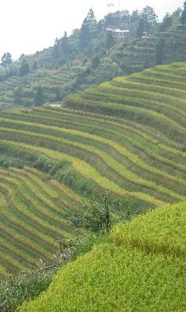 Longji Star-wish Resort: the longji rice terraces