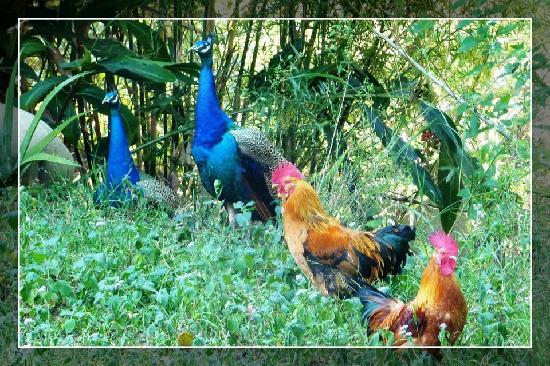 Taiwan Thumb-up B&B: 不怕人的美麗的孔雀和公雞!!!