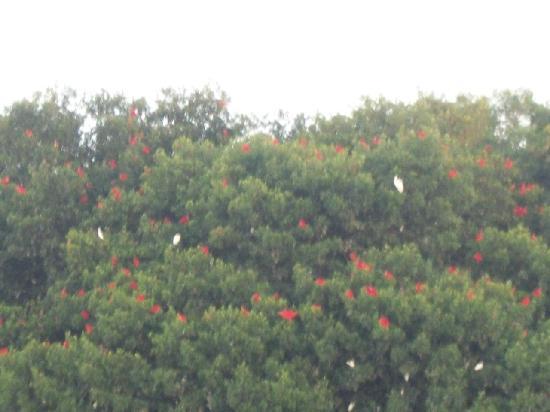 Caroni, Тринидад: Scarlet Ibis