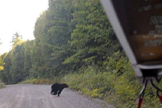 Black bear on Bell Lake Road in Killarney Park