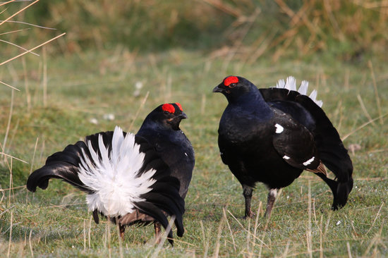 Glenlivet, UK: The Black Grouse Lek