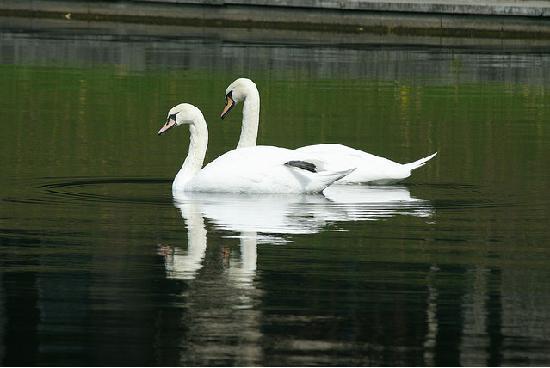 Patriarch's Pond: Swans