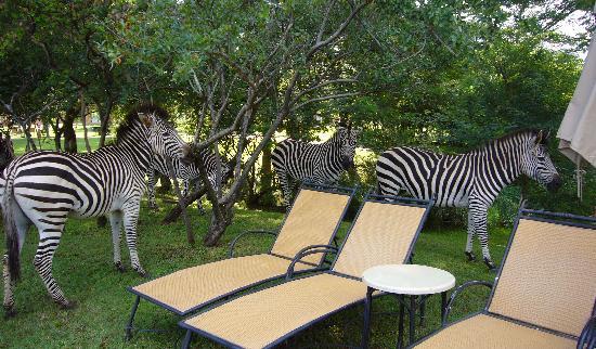 زامبيزي سن: Zebras roaming around the hotel pool