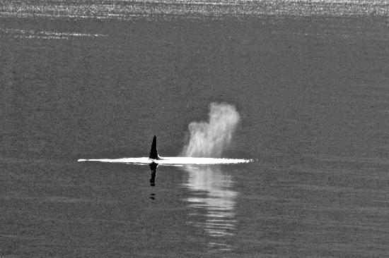 Glacier Bay National Park & Preserve: Killer whale blowing