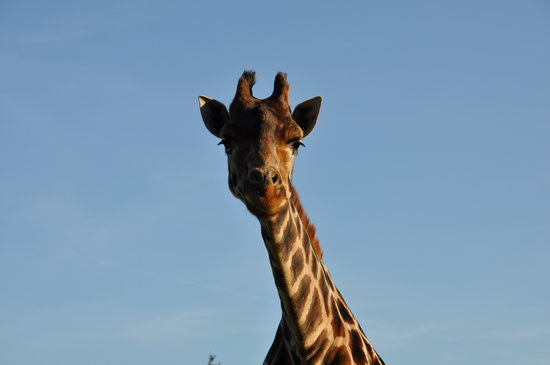 Hodenhagen, Alemania: Giraffe
