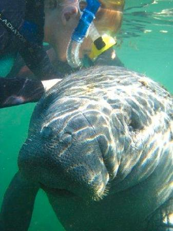 Manatees In Paradise: Swimming with the manatees