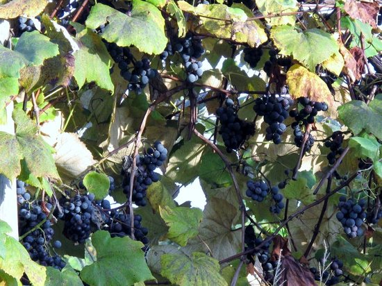 Lake Erie Wine Country: Concords ready for harvest