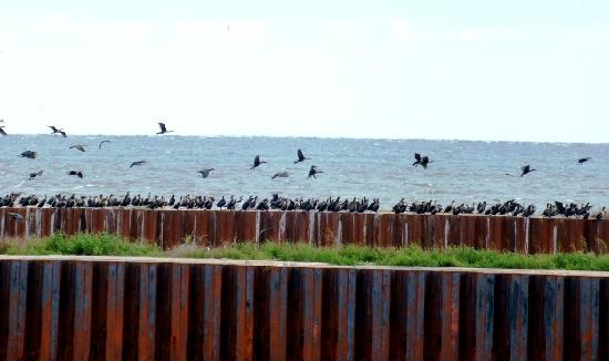 Country Charm Bed & Breakfast: Lots of cormorants!