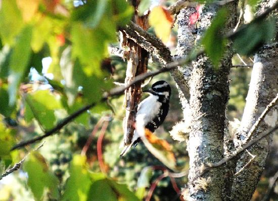 Country Charm Bed & Breakfast: Hairy woodpecker