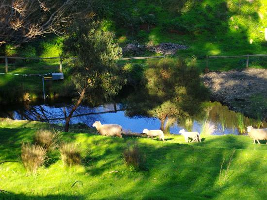 Sundance Bed and Breakfast: Sheep at spring fed dam