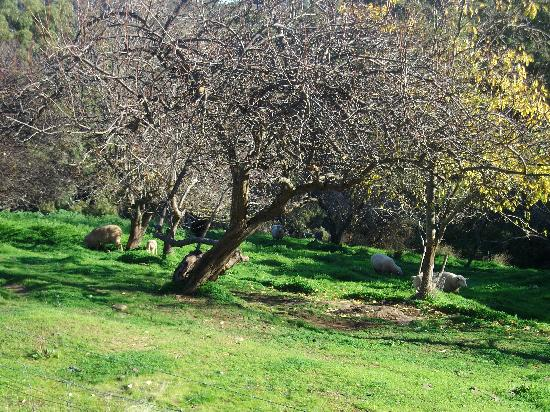 Sundance Bed and Breakfast: Sheep in orchard
