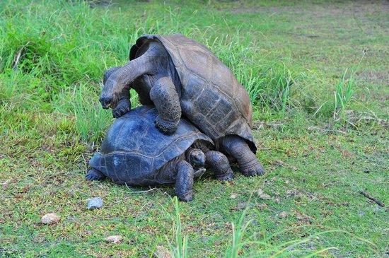 Desroches Island : tortues géantes