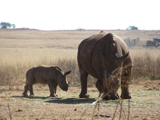 Krugersdorp, South Africa: Mother and baby rhino