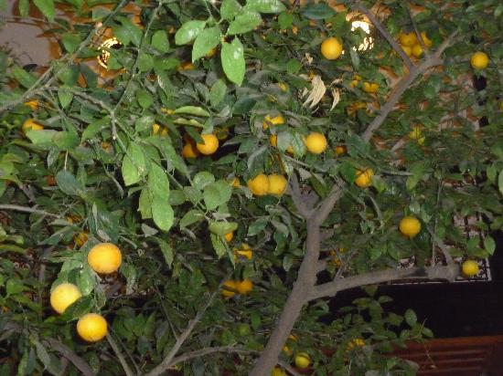 Dar Charkia: lemon tree in courtyard