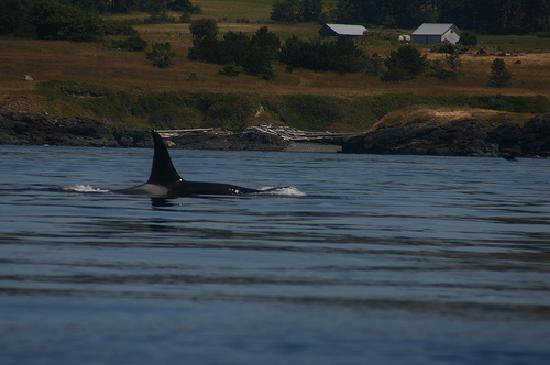 Puget Sound Express - Day Trips: JPod Orcas near Port Townsend