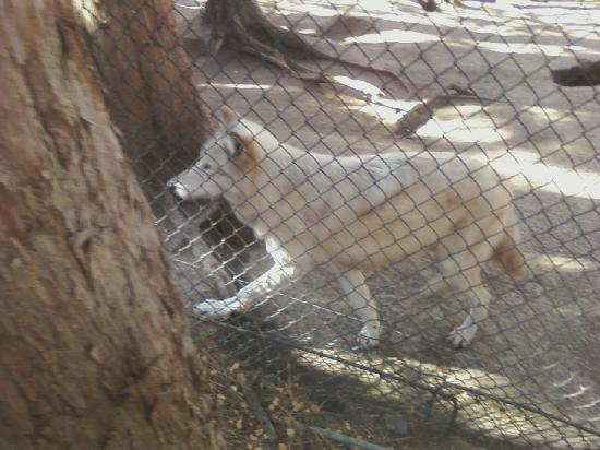 Big Bear Alpine Zoo at Moonridge: Wolf
