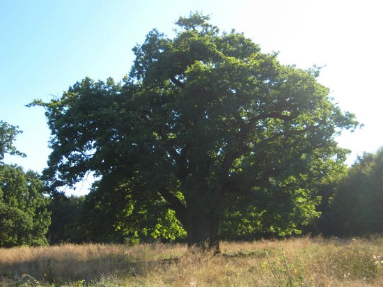 Breite Ancient Oak Tree Reserve