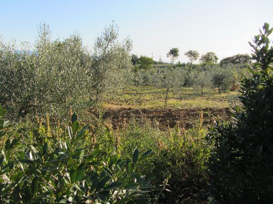 Podere Monti: olive groves