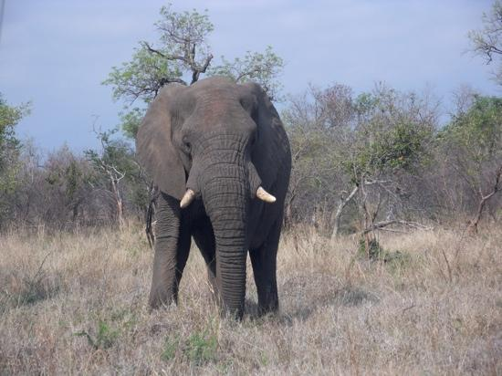 Kuname Lodge: bull elephant
