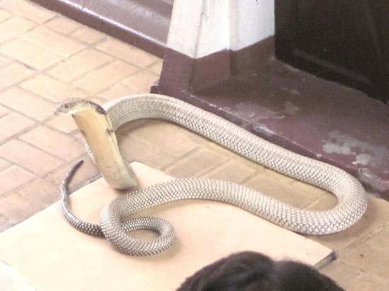 Snake Farm (Queen Saovabha Memorial Institute): King cobra