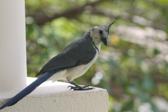 The Westin Golf Resort & Spa, Playa Conchal : breakfast with the birds