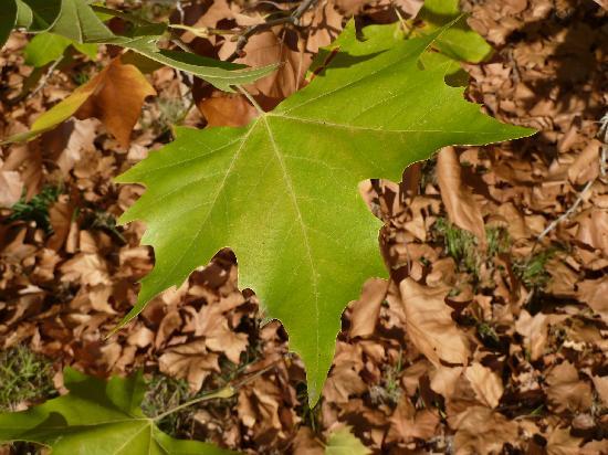 Domaine des Faures : chestnut leaf on site