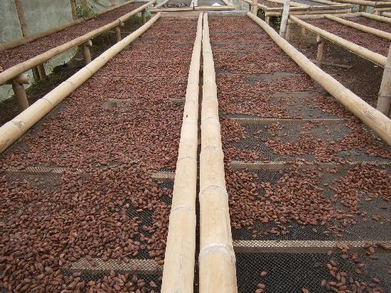 El Quetzal de Mindo: Cocoa beans drying after the fermentation process