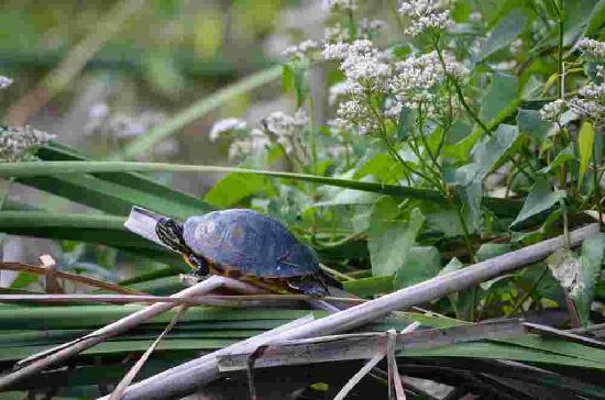 Everglades Rentals & Eco Adventures: Turtle
