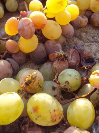 Azienda Vinicola Minardi: Passito grapes laid out to dry in the sun