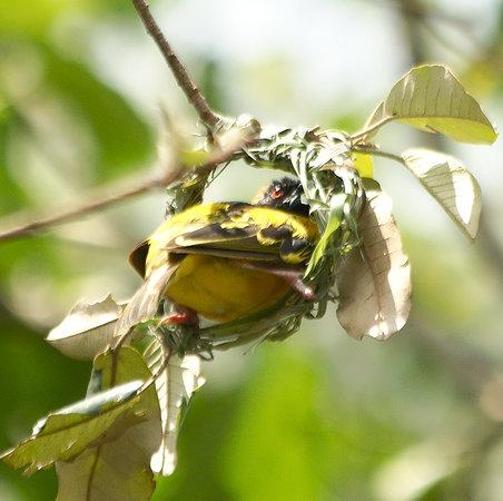 Uganda: Weaver