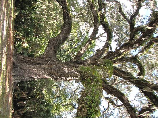 Bulow Plantation State Historic Site: Fairchild Oak, by PMAcontact