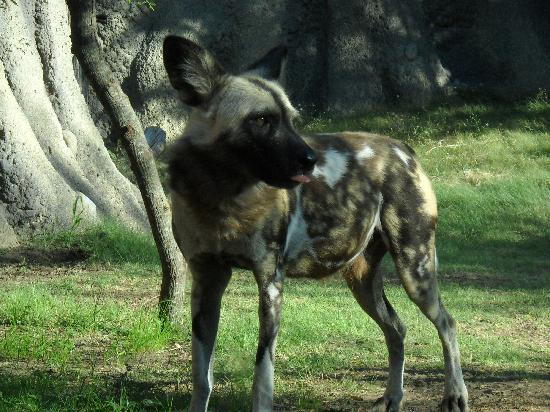 Wild Dogs Picture Of San Antonio Texas Tripadvisor