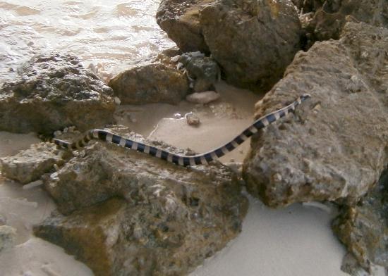 Amédée-Leuchtturm-Insel: Sea snake