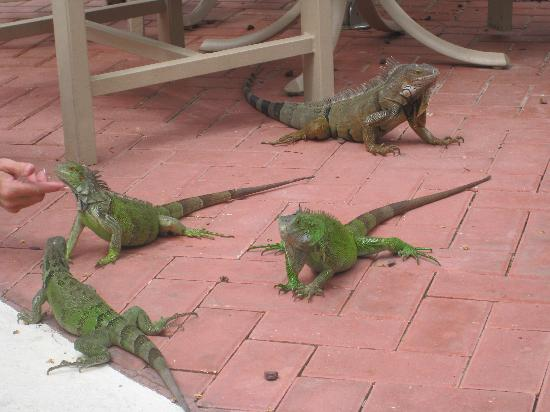 Aruba Marriott Resort & Stellaris Casino: feeding time at the zoo