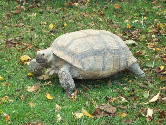 Birmingham Wildlife Conservation Park: African Spur Tortoise