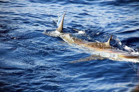 Mahi mahi picture of stanley 39 s deep sea fishing negril for Deep sea fishing jamaica