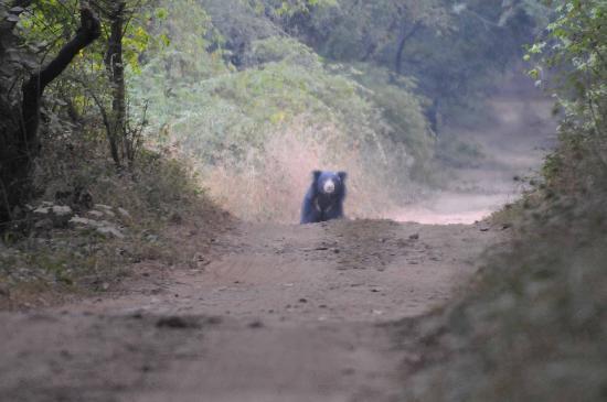 Sher Bagh : A sloth bear