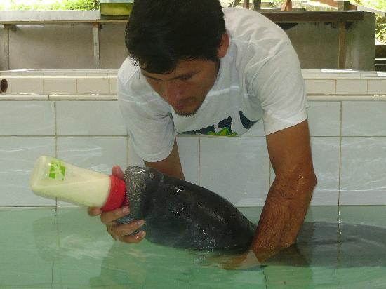 Quistacocha Zoo: Manati amazonico bebe
