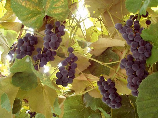 Tourist Farm Breg: grapes outside our room