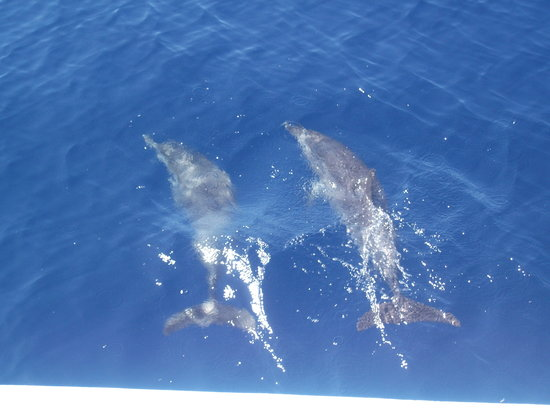 Mar de Ons : Atlantic Spotted Dolphins